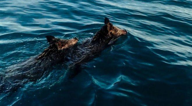 Απίστευτο: Βγήκαν για ψάρεμα και βρήκαν αγριογούρουνα να κολυμπούν στα ανοικτά (ΒΙΝΤΕΟ & ΦΩΤΟ)
