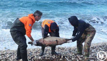 Σοκάρουν οι εικόνες με τα νεκρά δελφίνια σε ακτές του Βορείου Αιγαίου (ΦΩΤΟ)