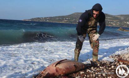 Νεκρό δελφίνι εντοπίστηκε στη Χαλκιδική