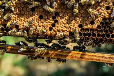 μέλισσα, γύρη
