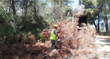 50 νεκρά πεύκα κόπηκαν στο Ρύσιο (ΦΩΤΟ)