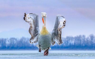 Παγκόσμια διάκριση για τη φωτογραφία με τον πελεκάνο της λίμνης Κερκίνης