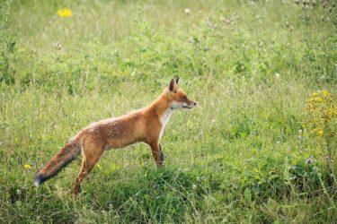 Νεκρές αλεπούδες στις Καβουρότρυπες-Τις δηλητηρίασαν