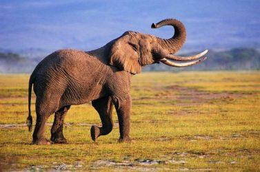 Ποιον φοβάται ο ελέφαντας;