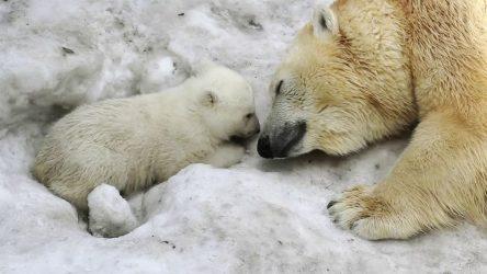"""Εκπέμπουν """"SOS"""" οι επιστήμονες για τις πολικές αρκούδες"""