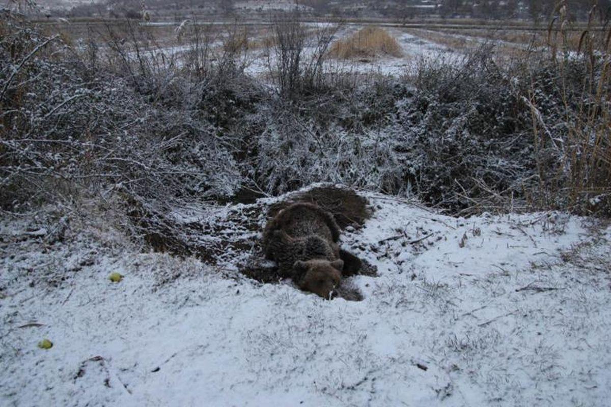 Αρκούδα στις Πρέσπες έμεινε 4 ημέρες παγιδευμένη σε παγίδα για αγριογούρουνα (ΦΩΤΟ)