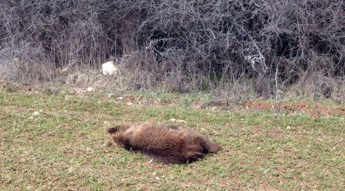 Εορδαία: Νεκρή αρκούδα με τραύμα από πυροβόλο όπλο (ΒΙΝΤΕΟ)
