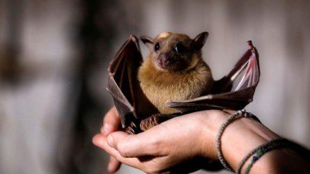 nyxterida νυχτερίδα
