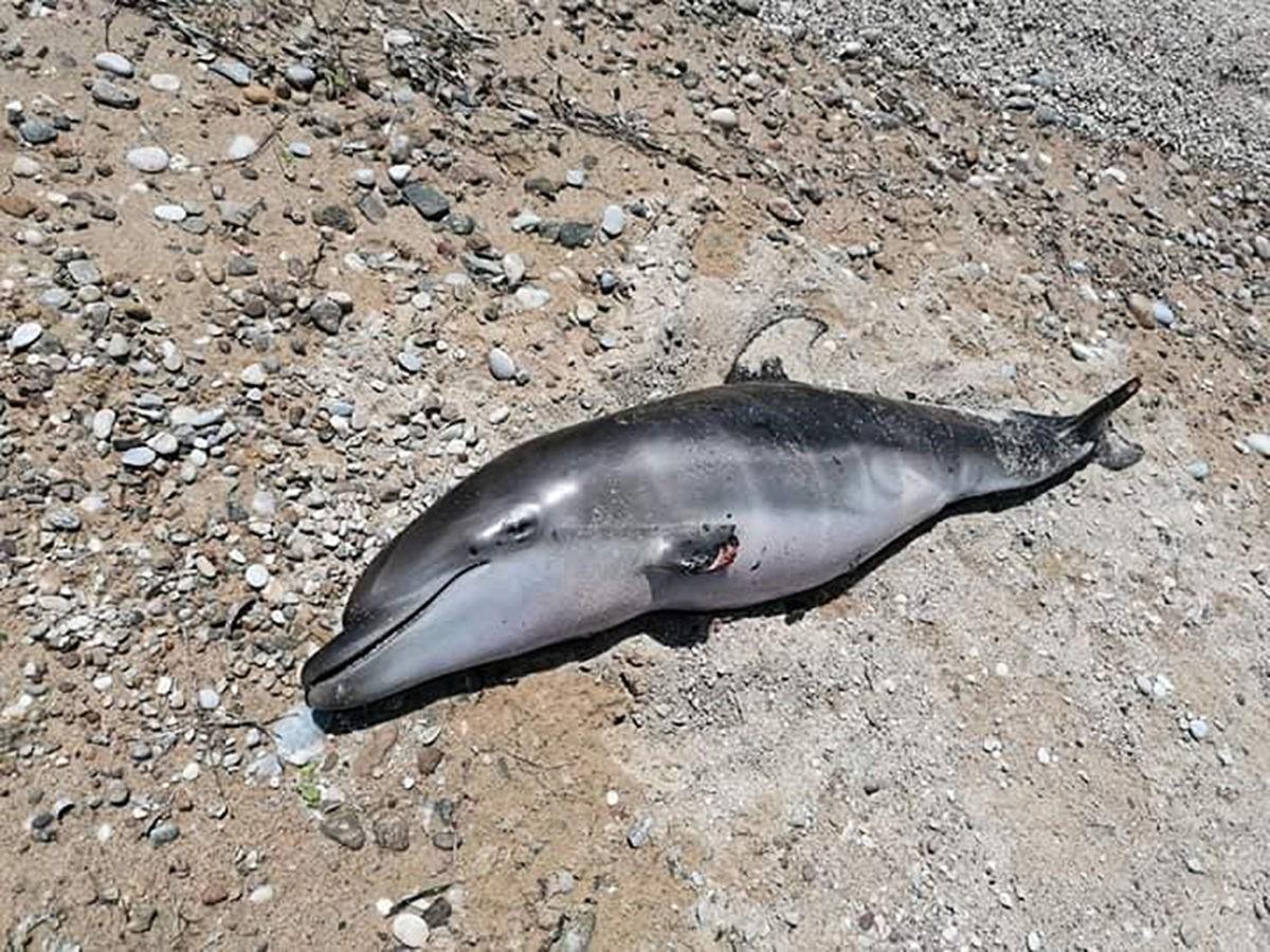 δελφίνι νεκρό Παγγαίου ακρωτηριασμένο