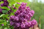 Πασχαλιά δέντρο Πάσχα Παναγία ευλογημένο άνθη