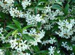 Ρυγχόσπερμο ρυγχόσπερμο φυτό άνοιξη αναρριχόμενο φράχτης