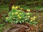 Πρίμουλα Λουλούδι του Δαρβίνου Δακράκι Βότανο βότανο φυτό θεραπευτικές ιδιότητες Ελλάδα