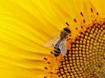 Μέλισσα μέλισσα μέλισσας μέλισσες
