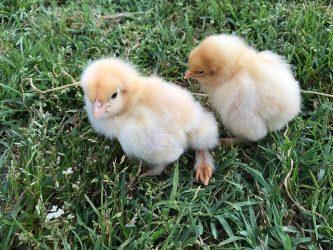 Σέρρες: Πτηνοτροφική μονάδα παράγει αυγά με… φασκόμηλο!