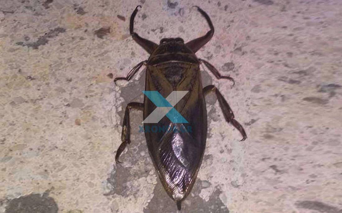 έντομο λιθόκερος Κομοτηνή υδρόβιο