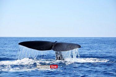 Φάλαινα φυσητήρας