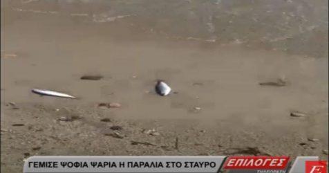 Γέμισε με νεκρά ψάρια η παραλία του Σταυρού! (ΒΙΝΤΕΟ)