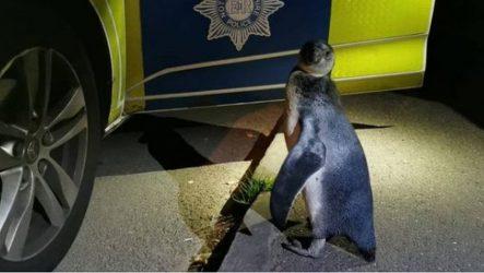 """Πιγκουίνος έκανε βόλτα στην πόλη και τα """"είπε"""" με αστυνομικούς! (ΦΩΤΟ)"""