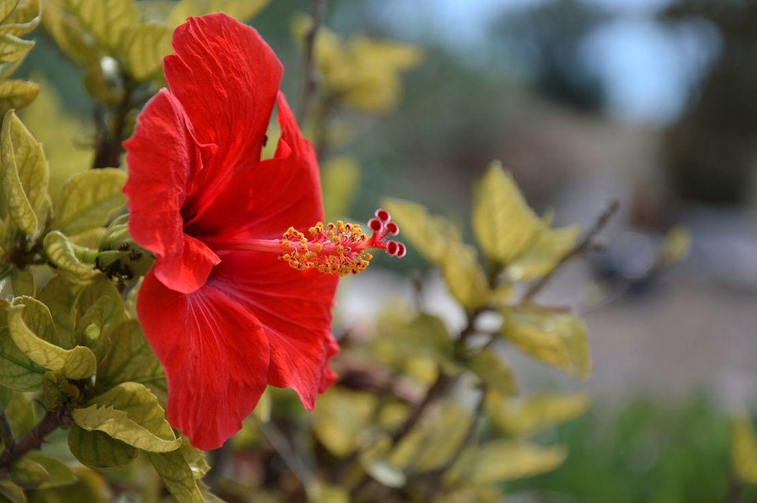 φθινόπωρο λουλούδια ιβίσκος