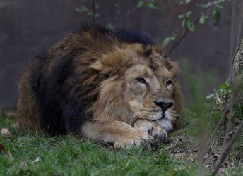 Λιοντάρι επιτέθηκε σε εκπαιδευτή σε τσίρκο (ΒΙΝΤΕΟ)