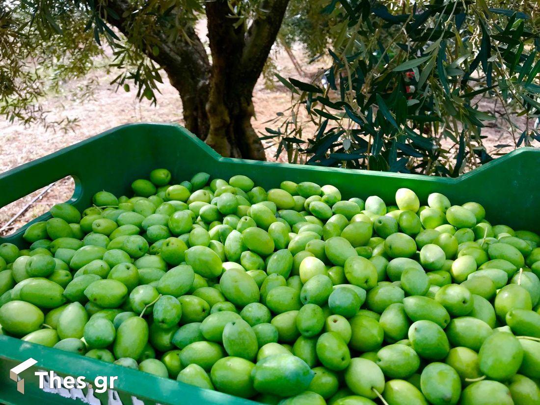 πράσινη ελιά χαλκιδικής