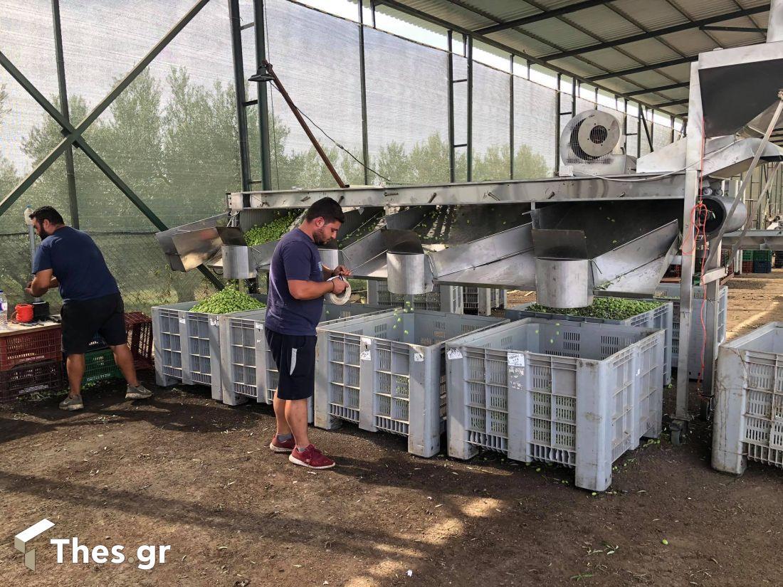 Πράσινη ελιά Χαλκιδικής: Από το χωράφι στη μεταποίηση – Τα εμπόδια και η ανάγκη στήριξης (, φωτογραφία-3