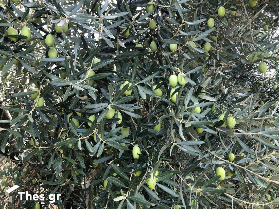 Πράσινη ελιά Χαλκιδικής: Από το χωράφι στη μεταποίηση – Τα εμπόδια και η ανάγκη στήριξης (, φωτογραφία-8