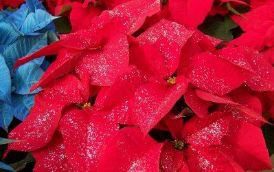 Χριστούγεννα: Χρυσόσκονη στα… λουλούδια τους ζητούν οι καταναλωτές