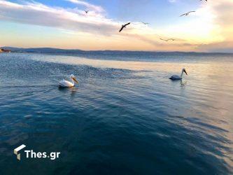 Υπέροχες εικόνες με πελεκάνους στην Κρήνη (ΒΙΝΤΕΟ & ΦΩΤΟ)