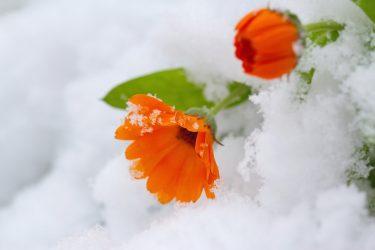 χειμώνας παγωνιά λουλούδια φυτά προστασία