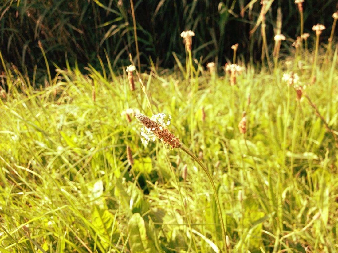 πεντάνευρο βότανο φυτό που γιατρεύει