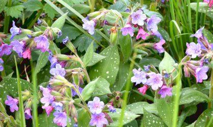 Πουλμονάρια ή πνευμονόχορτο: Το βότανο που… αγαπούν οι πνεύμονες
