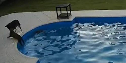 σκύλος σώζει πίτμπουλ πισίνα