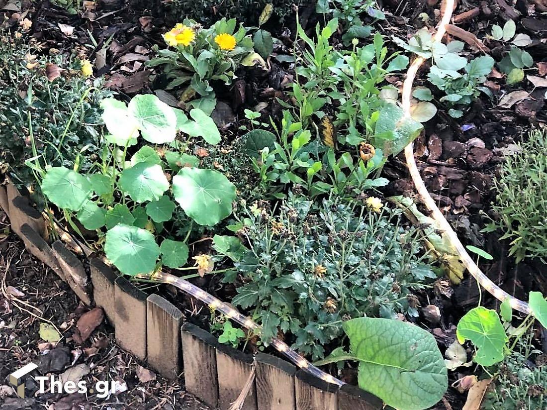 Ο Καπουτσίνος, ένα βρώσιμο φυτό