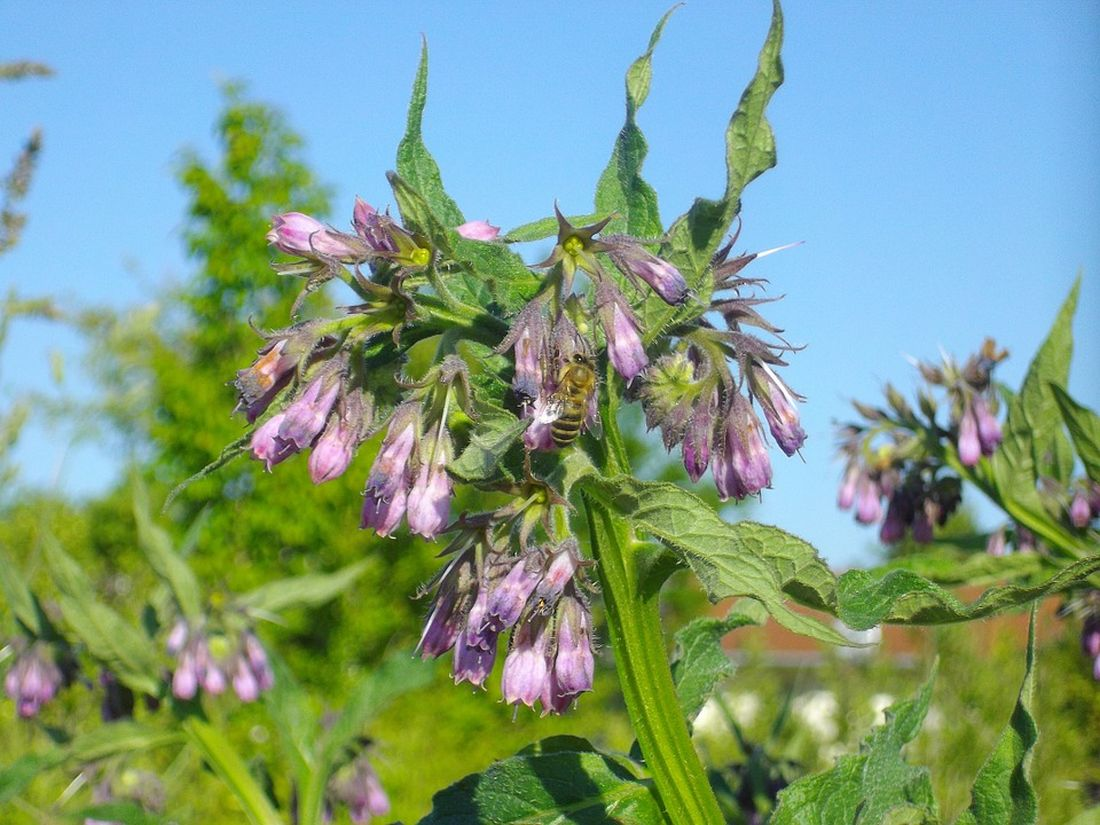σύμφυτο βότανο φυτό