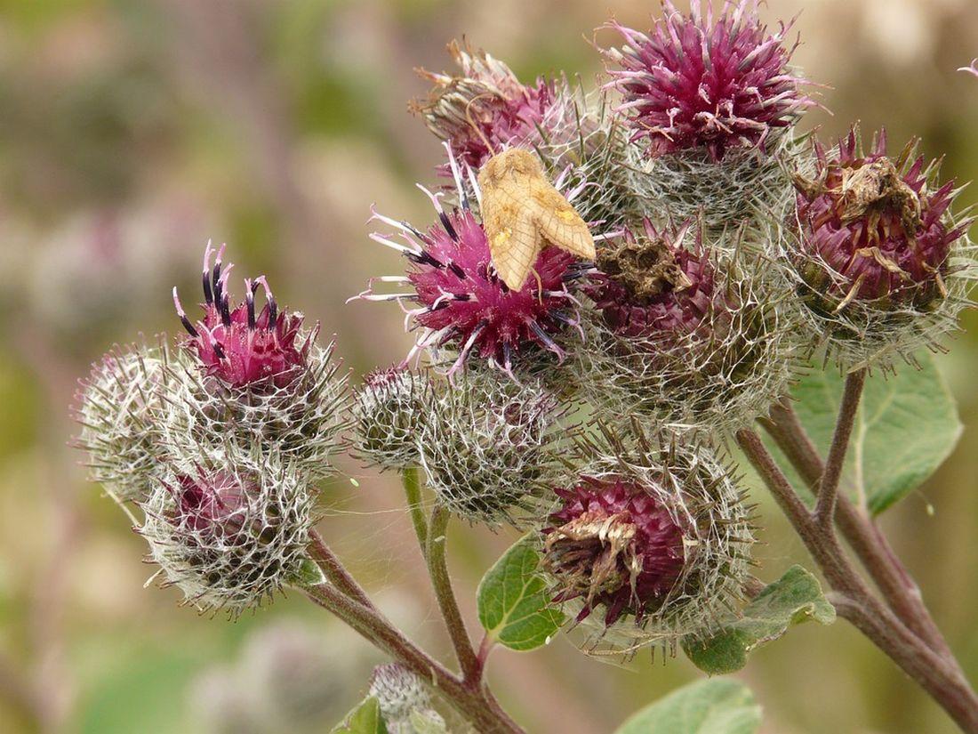 Κολλιτσίδα Αρκτιο Λάππα βότανο