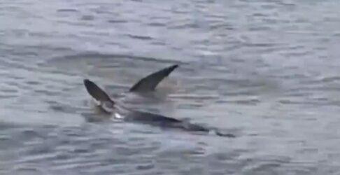 Καρχαρίας κολυμπά στα ρηχά παραλίας στο Ναύπλιο (ΒΙΝΤΕΟ)