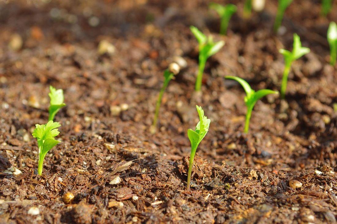 φυτό κόλιανδρος κόλιαντρος φίλτρο για νερό