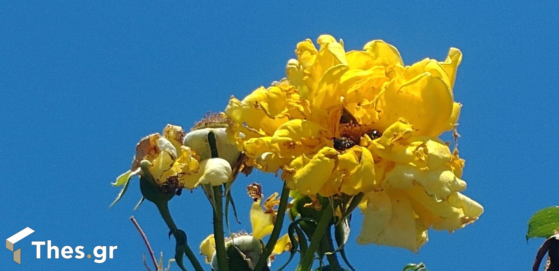 σκαθάρια στα τριαντάφυλλα