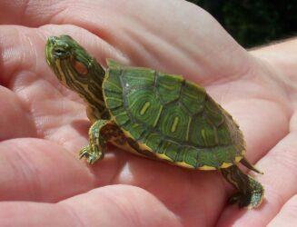 μπομπονιέρες ζωντανές χελώνες στην Κύπρο