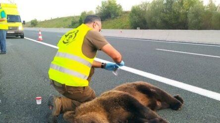 Εγνατία Οδός: Τροχαίο με θύμα νεαρή αρκούδα στον κάθετο άξονα στο Καλονέρι