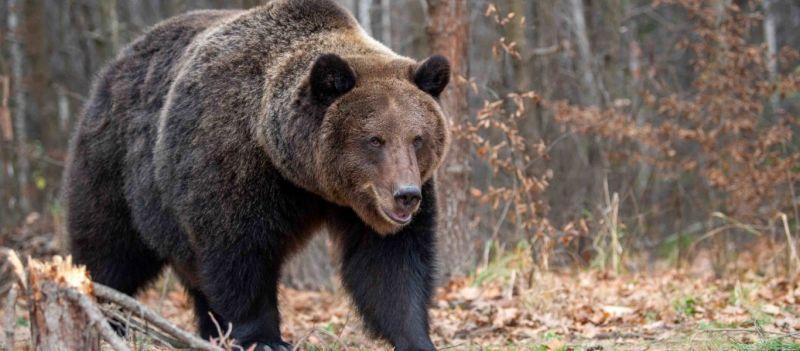αρκούδα γκρίζλι
