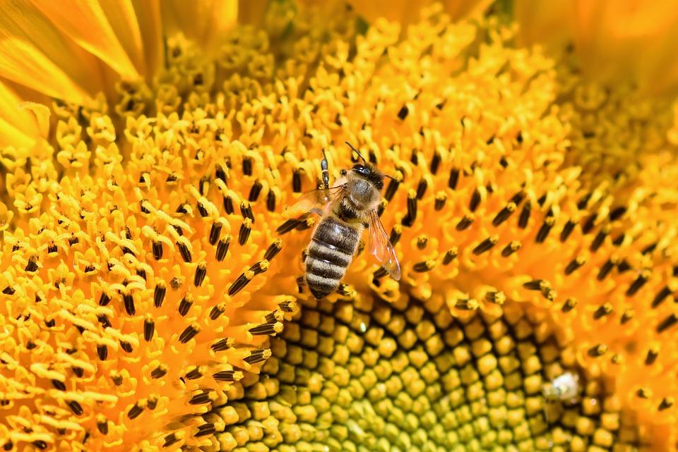 γύρη μέλισσας