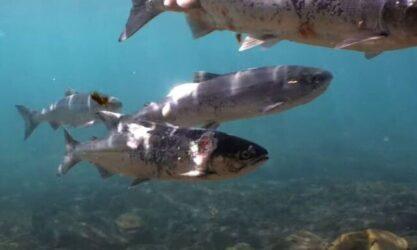 Σολομοί κολυμπούσαν… καμένοι λόγω έκθεσης σε ακραίες θερμοκρασίες (ΒΙΝΤΕΟ)