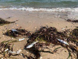 Ξεβράζει νεκρά ψάρια η θάλασσα σε παραλία στην Χαλκιδική (ΒΙΝΤΕΟ & ΦΩΤΟ)