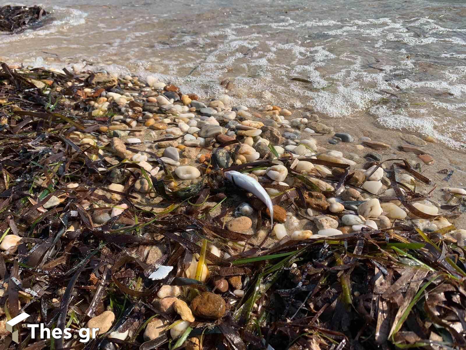 νεκρά ψάρια Βεργιά Ν. Καλλικράτεια