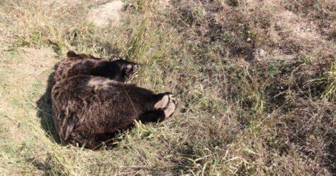 Φλώρινα: Εντοπίστηκε νεκρή αρκούδα από πυροβολισμό (ΦΩΤΟ)