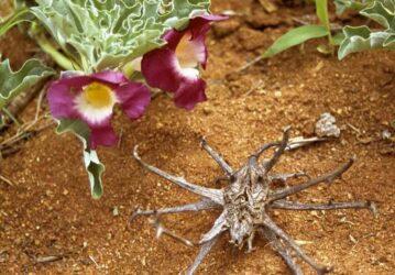 Αρπαγόφυτο: Το βότανο με την παυσίπονη και αντιφλεγμονώδη δράση