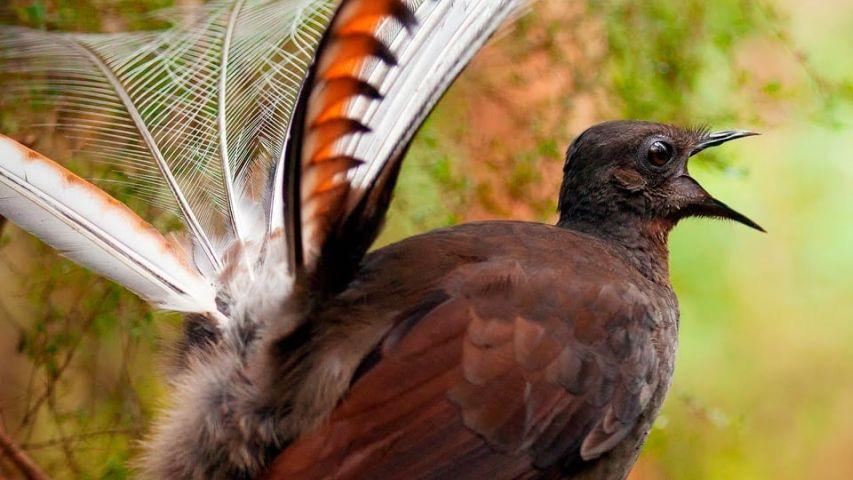 Αυστραλία πουλί