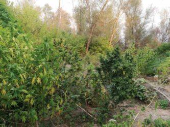 Βέροια: Καλλιεργούσαν δένδρα κάνναβης ύψους 2,5 μέτρων σε παραπόταμο